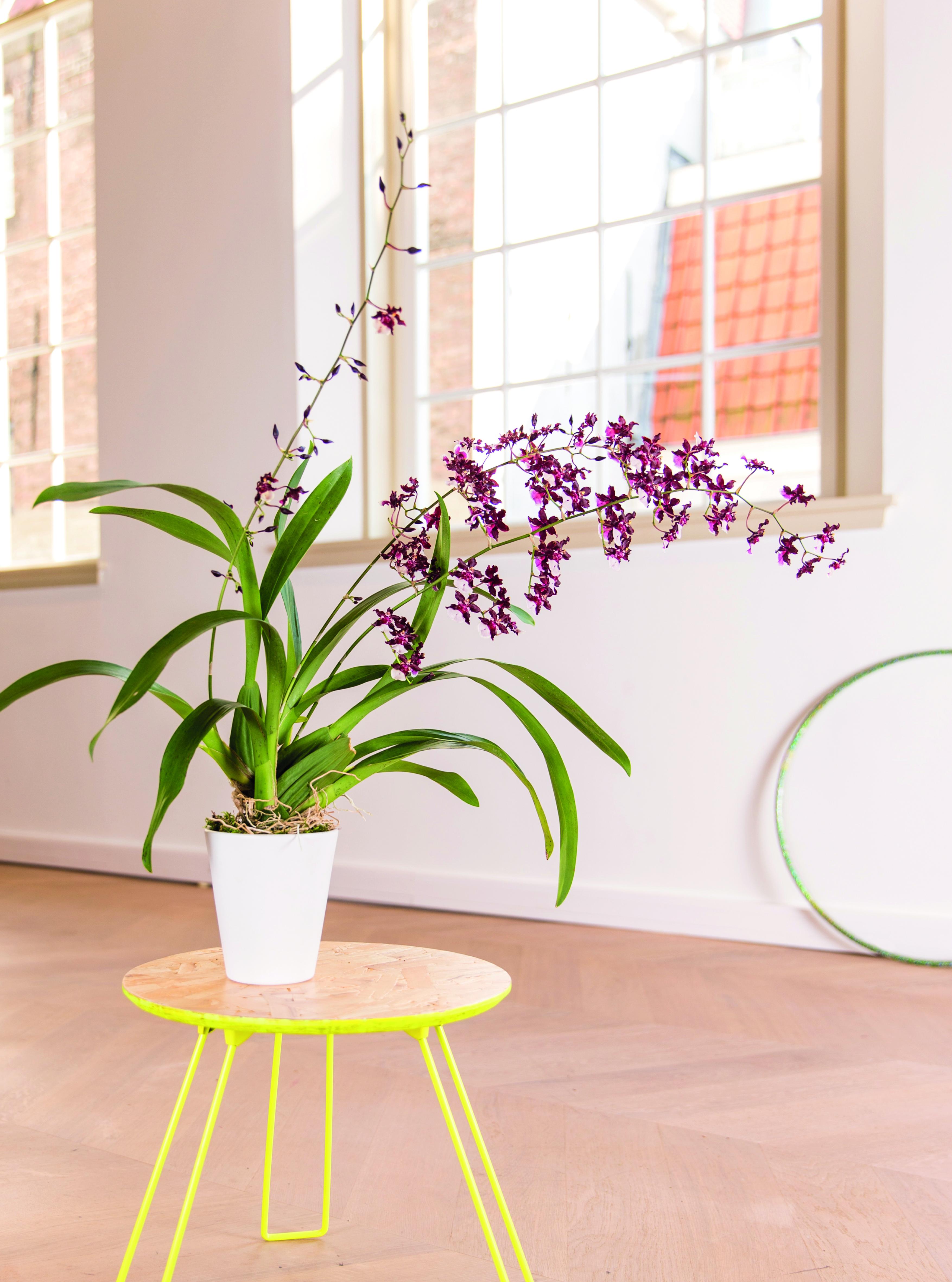 Orchidee_Cambria