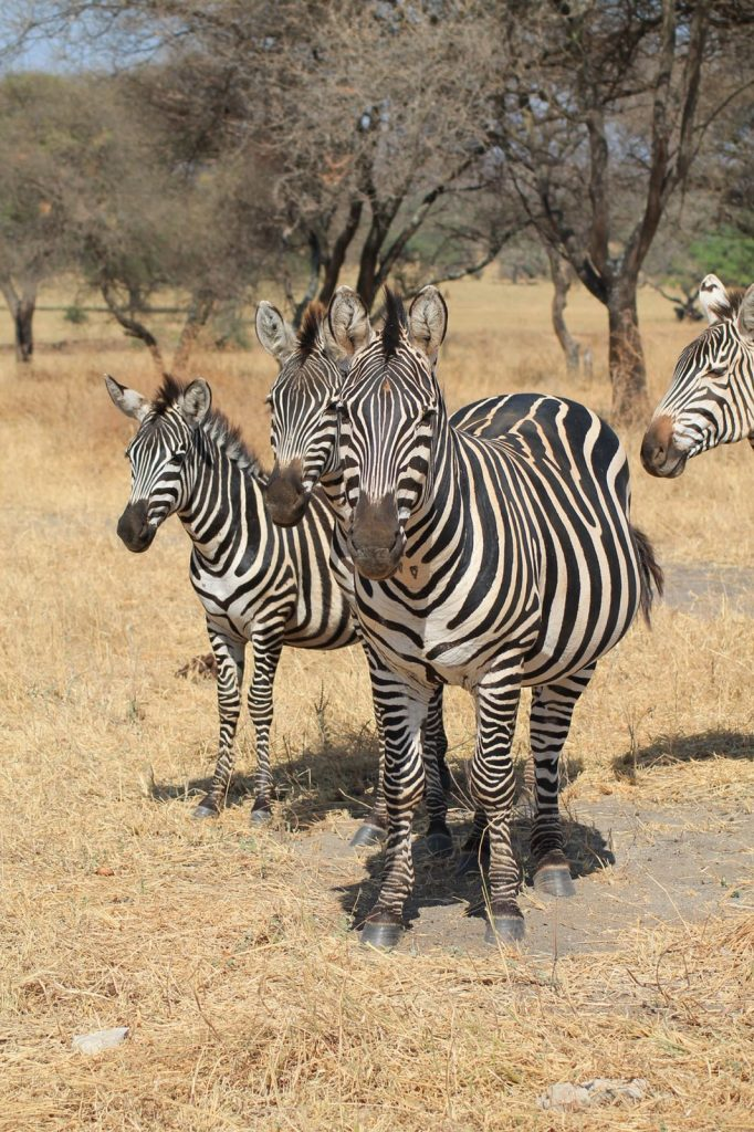A bucket list kind of thing: op safari in Tanzania - Zebra