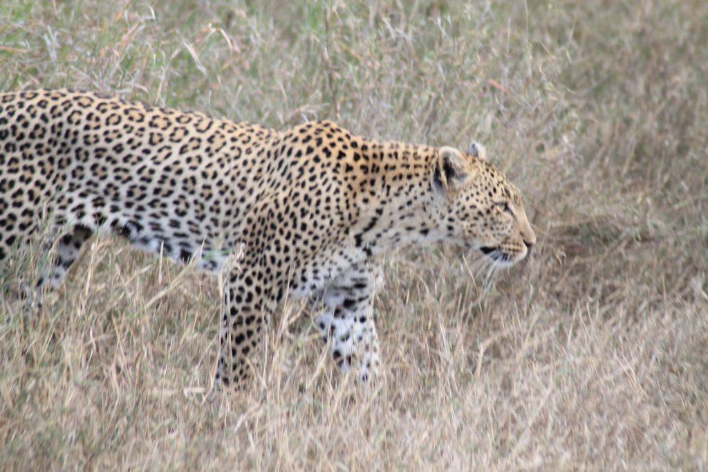 A bucket list kind of thing: op safari in Tanzania - Luipaard
