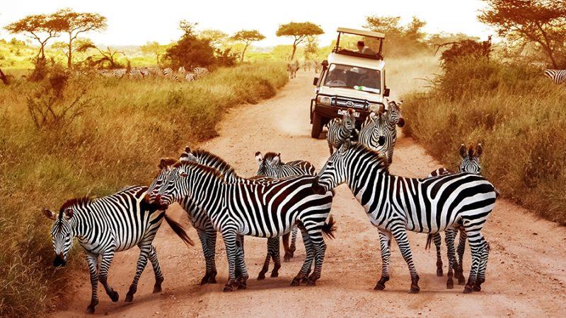 safaribestemmingen - Zebra's