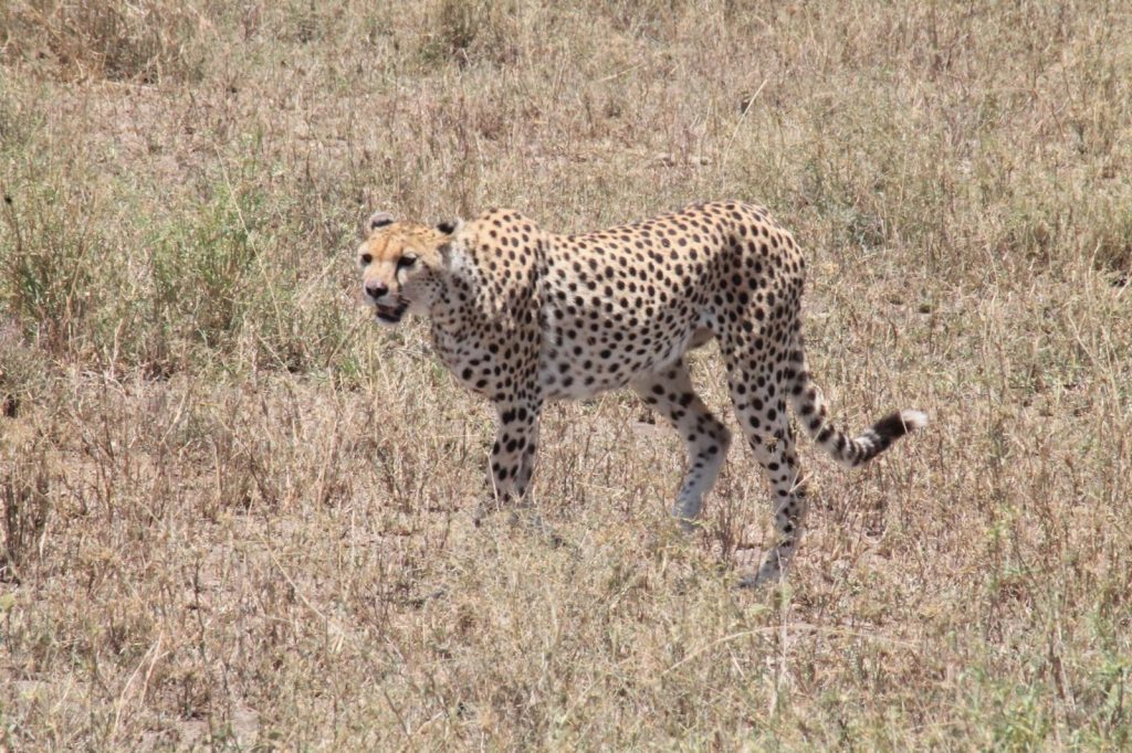 A bucket list kind of thing: op safari in Tanzania - Cheetah