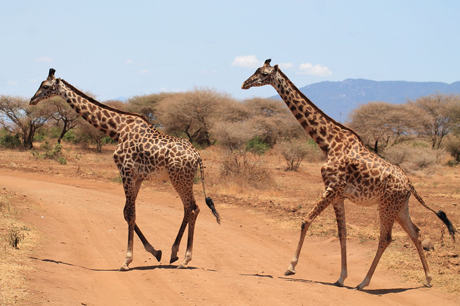 A bucket list kind of thing: op safari in Tanzania - Giraf