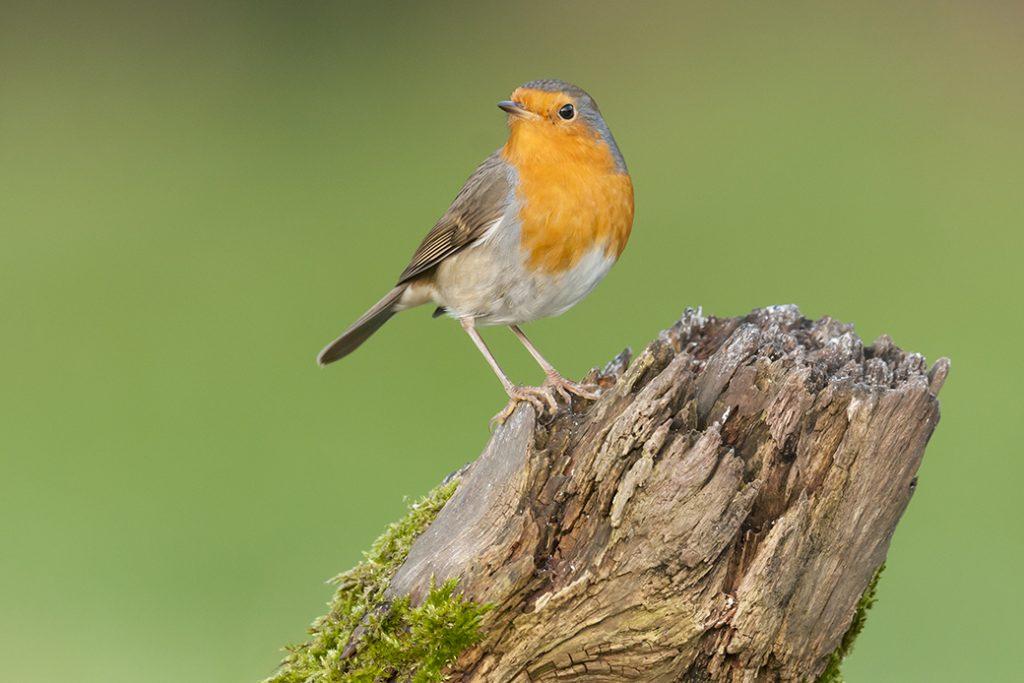 Alle vogels verzamelen - Roodborstje