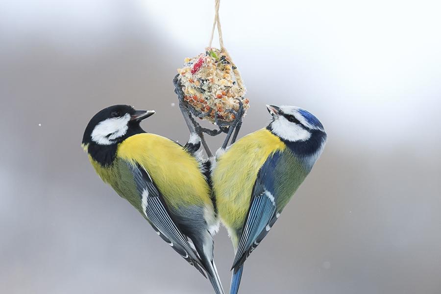 Alle vogels verzamelen - Koolmees en Pimpelmees